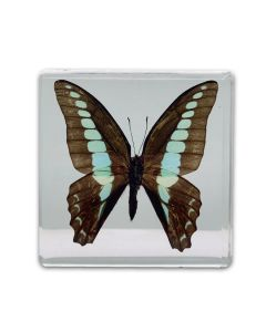 Real Brown and Blue Butterfly Paperweight