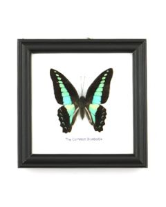 Framed Real Butterfly Specimen