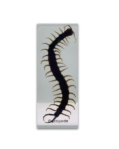 Real Centipede Paperweight